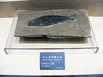 兴义亚洲鳞齿鱼化石标本