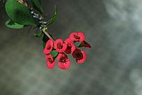 刺梅盆栽鲜艳小红花