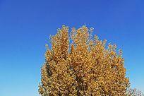 金黄色的大树树冠