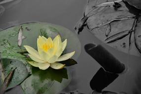 池塘里的莲花