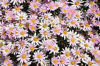 粉色小菊花