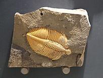 湖南志留纪王冠虫化石