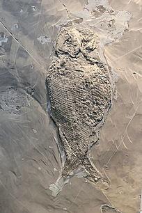 中三叠世兴义亚洲鳞齿鱼化石