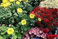不同色彩的菊花