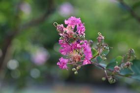 凋零的紫薇花