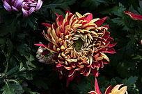 红黄相间的菊花