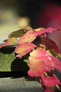 红色的叶子