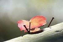 一片红色心形叶子