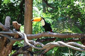 鞭苔巨嘴鸟