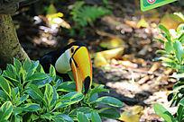 草丛后的巨嘴鸟