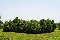 草坪中间的松树