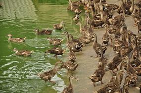 池塘边的鸭子