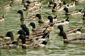 水中的土鸭