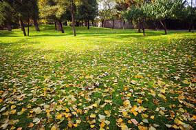 草地上的金黄落叶