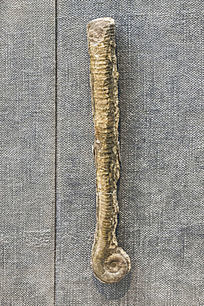 湖南三叶角石化石