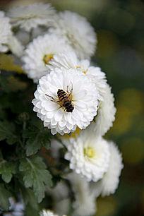 盛开的白色菊花中的勤劳蜜蜂