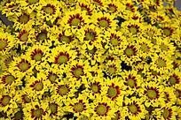 盛开的黄色小菊花