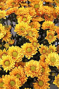 盛开的美丽黄色小菊花