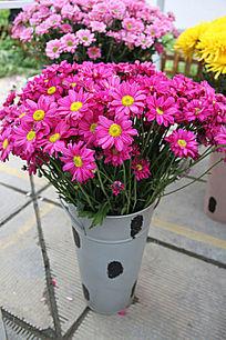 盛开美丽的紫色小菊花