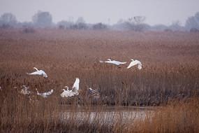 湿地白鹭起飞