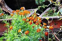 橙黄的孔雀草