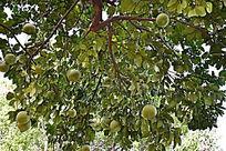 结满柚子的柚子树
