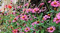 一片粉色的菊花