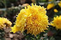 金黄的菊花花朵