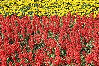 菊花和串串红花丛