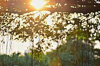 日落树林光影图片