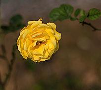 一朵黄玫瑰