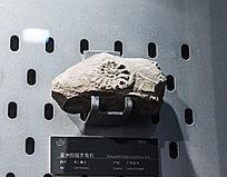 广西的亚洲假提罗菊石