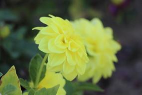 黄色大丽菊