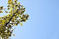 蓝天下的黄色银杏树枝