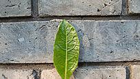 墙上的一片绿叶