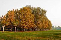 秋天的枫树