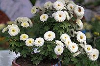 盛开的白色小菊花