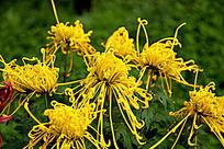 盛开的黄色秋菊花卉
