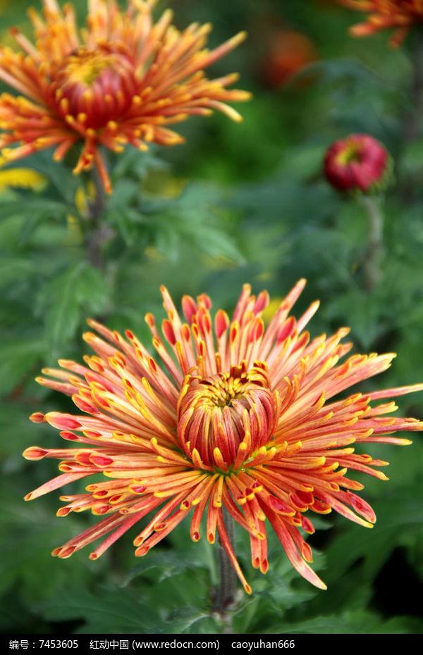 盛开的一朵秋菊花图片