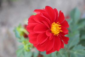 一朵红色大丽菊