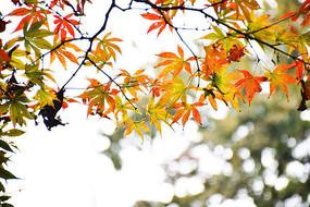 岳麓山红色枫叶风景摄影图