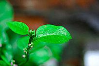 雨后的绿色叶子