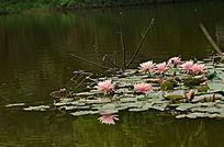 美丽的睡莲风景图片