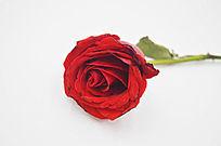 盛开的红玫瑰