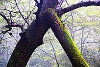 落完树叶长青苔的奇态树干树枝