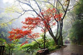 秋天岳麓山灰色马路红色枫树黄色树叶全景图