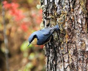 树干上的小鸟