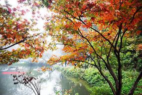 岳麓山爱晚亭下红枫树叶全景图