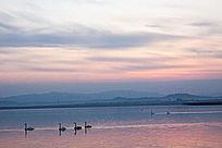 夕阳下湖面上优雅的天鹅