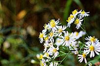 繁多的野菊